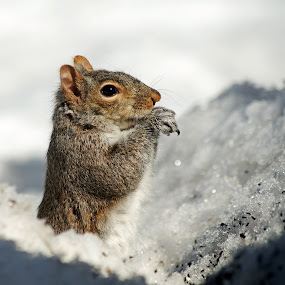 Pop-up Squirrel by Jeff Galbraith - Animals Other Mammals ( winter, cold, furry, snow, eating, seeds, grey, cute, rodent, mammal, squirrel )