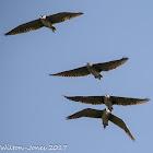 Black-crowned Night Heron; Martinete