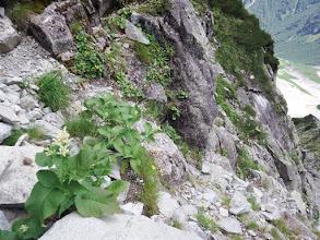 この当たりお花畑(オンタデ、ウサギギク、ヨツバシオガマなど)