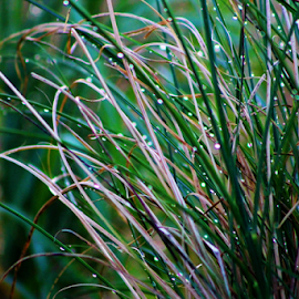 Grasses in the Rain by Leah Zisserson - Nature Up Close Leaves & Grasses ( grass, green, summer, water droplets, rain,  )