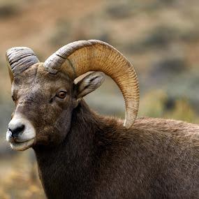 by Antonio Lobato - Animals Other Mammals ( wild, animals, nature, rocky mountains, colorado, wildlife, nature close up, sheep, bighorn,  )