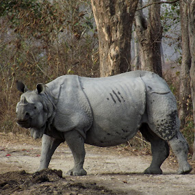 Indian Rhino by Mousam Ray - Animals Amphibians ( beauty of nature, animals, forest, travel, rhino )