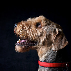 Barney2 by Julie Anderson - Animals - Dogs Portraits