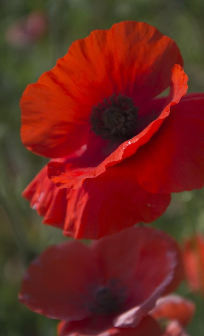 rosso nei campi di alice_ale
