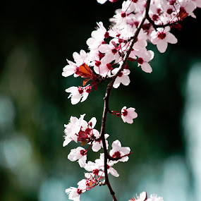 Bloomin' in spring by Kati Garner - Nature Up Close Trees & Bushes ( red, white, plum tree, flowers, spring, blossom )