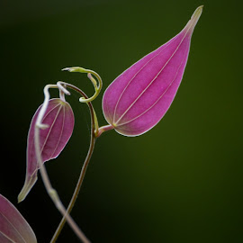 Pink beauty by Unknown - Nature Up Close Leaves & Grasses ( beautiful, pink, nature, single leaf, leaf,  )