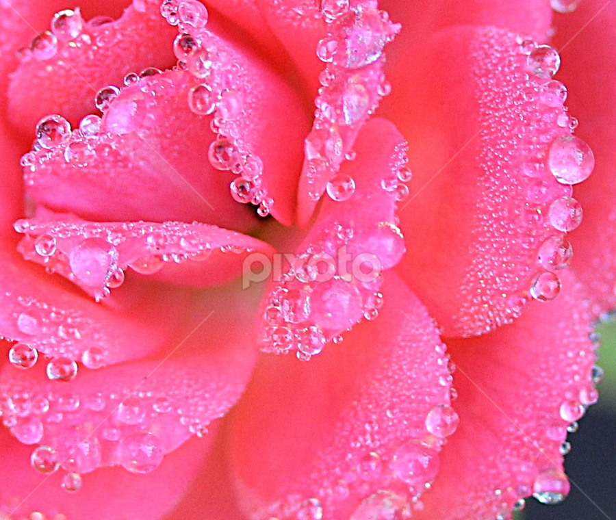 by Carmen Quesada - Flowers Single Flower ( plant, rose, pink, waterdrops, natural, flower )