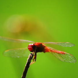 Crocothemis servilia by Deny Afrian Wahyudi - Animals Insects & Spiders ( red, scarlet, skimmer, canon, wildlife )
