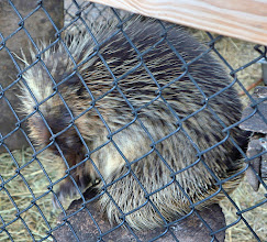 Photo: Porcupine. They cannot throw their quills, but the quills detach very easily so the slightest touch can embed them in one's flesh.