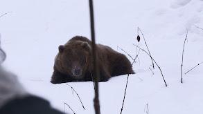 Bear in Sight thumbnail