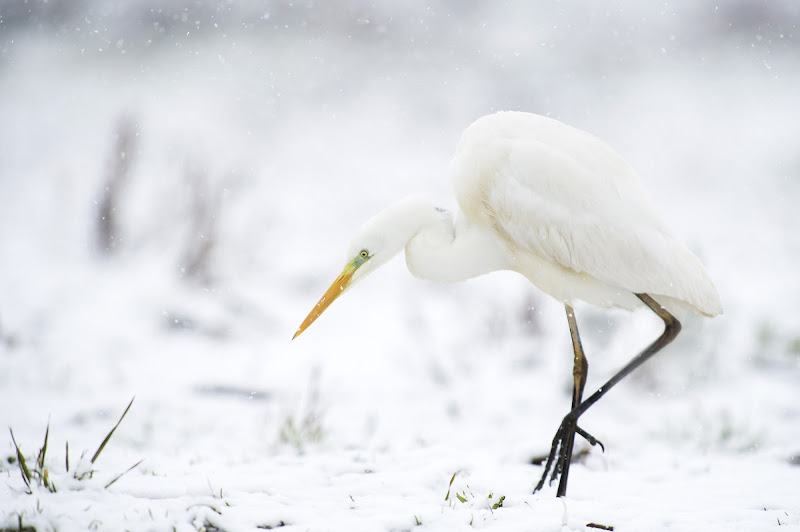heron in the snow di Rickytre