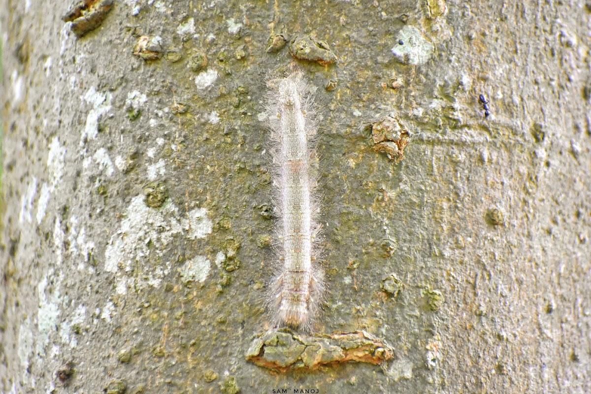 Brown Lappet Moth Caterpillar