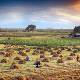 HM by Abdul Rehman - Landscapes Prairies, Meadows & Fields ( wheat, pakistan, sunset, workers, multn,  )