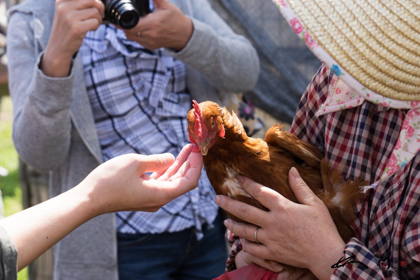 奥様に抱っこされた鶏さん