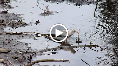 Video: Leucistic Spotted Sandpiper