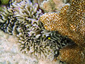 Photo: Heteractis crispa (Sebae Anemone) and Amphiprion clarkii (Clark's Clownfish), Chindonan Island, Palawan, Philippines