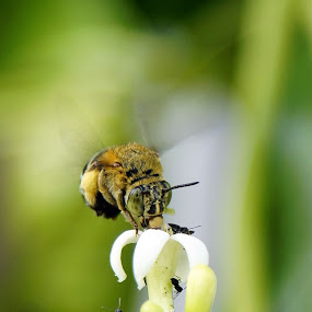 bee by Arief Wijayanto - Animals Insects & Spiders ( bee )