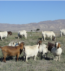 commercial boer goat herd