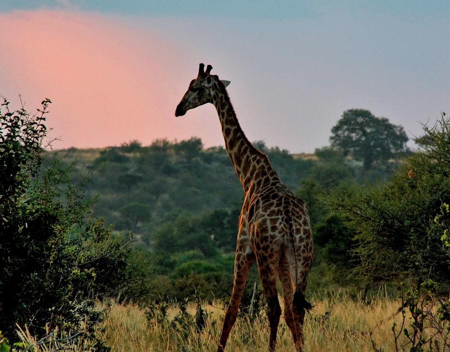 Giraffe by Antophotasia - Animals Other ( botswana, giraffe, safari, bush )