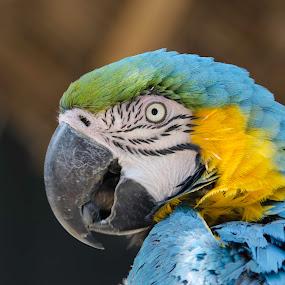 Guacamayo by Fico Stein Montagne - Animals Birds ( bird, colors, pajaro, guacamayo, feathers, nikon d7000, ave,  )