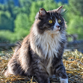 Farm Cat - Reckless by Twin Wranglers Baker - Animals - Cats Portraits (  )