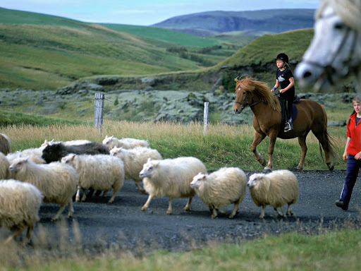 Iceland-sheep.jpg - Icelandic sheep are descendants of animals exported from Europe.