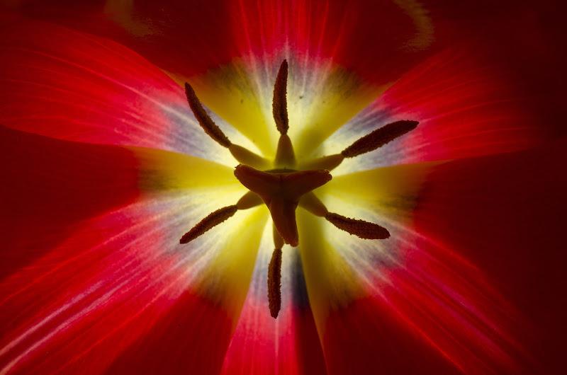 Dentro a un tulipano... di Licia Piazza