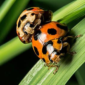 Ladybug by Soyam Chhatrapati - Animals Insects & Spiders ( macro, macrophotography, micro, macro photography, ladybug )