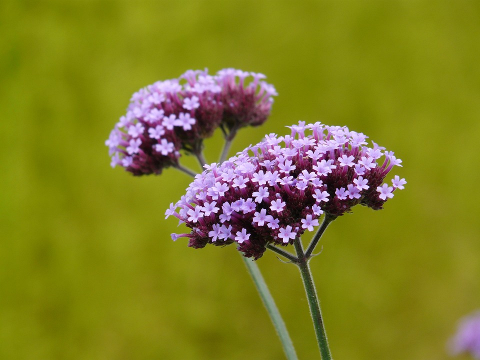 tall lilac-colored verbena plant blossoms with green bokeh background