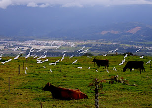 Photo: Rinder und Kuhreiher oberhalb Cartago