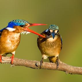 I told you before! by Robbie Aspeling - Animals Birds ( bird, flight, avian, kingfisher, malachite, river,  )