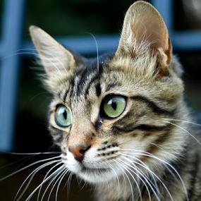 cat by Ahmet Güler - Uncategorized All Uncategorized ( cats, beautiful, friendly, young, tabby,  )