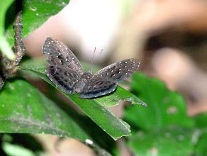 Photo: BROWN-BANDED DIFFRACTIONMARK (MELLOSA METALMARK)--napaea mellosa--APUYA TRAIL--id by Andrew Neild