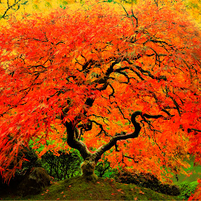 Tree of Life by John Broughton - Nature Up Close Trees & Bushes ( japanese maple, fall season, fall colors, tree, folage )