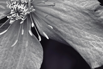 Photo: http://www.redbubble.com/people/inspiraimage/works/15278160-clematis-in-monochrome-ii      +DOFMonday curated by +Mara Acoma +Mark Hall +Alan Gurling +Nigel Smith #DOFMonday +Monochrome Monday curated by +Charles Lupica #MonochromeMonday +Moody Monday curated by +Philip Daly +Annelies Jansen #moodymondayphoto +NatureMonday curated by +Rolf Hicker +Jen Baptist #NatureMonday +All Things Monochrome curated by +Charles Lupica +Brian Cox +Enrique Pelaez +Bill Wood +Dorian Stretton #allThingsMonochrome +Black and White Photos curated by +Gemma Costa +Rob Heron +Salvatore Ferrante +Andrea Erbifori #blackandwhitephotos +Daily Depth Of Field curated by +Vince Ong +Nuraini Ghaifullah +f.a. fiebig #DailyDepthOfField +FLOWER POWER curated by +Edith Kukla #flowerpower +HQSP Monochrome curated by +Anja Wessels +Luis Vivanco S. +Оксана Крысюкова +Howard Salmon +tri rini nuringtyas +Giuseppe Petruzzella #hqspmonochrome +Macro GALLERY curated by +Heinrich Wagner +Susan Wilkinson #macrogallery +Macro4All curated by +Walter Soestbergen +Bill Urwin +Thomas Kirchen #Macro4All +MacroAddict curated by +Sandrine Berjonneau +Didier Caron #macroaddict +Monochrome World curated by +andi rivarola #monochromeworld +NATURE & MACRO Photos curated by +Robert SKREINER +Roswitha Böhmer #naturephotos #clematis