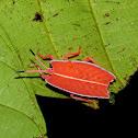 Stink/Shield Bug - Nymph