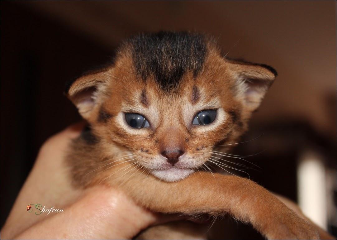 Shafran питомник абиссинских кошек Казань