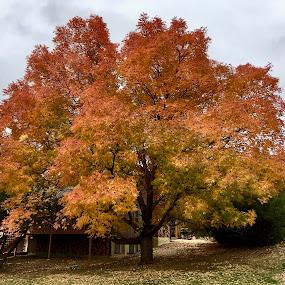 Autumn Colours by Kerry Demandante - Nature Up Close Trees & Bushes ( suburban, fall, leaves, nature, autumn, neighborhood, trees, colorado, iphone, colors, colours,  )