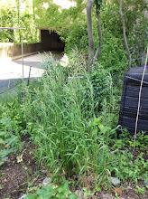 Photo: Switchgrass: Panicum virgatum