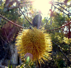 Photo: Wattle? I think this is on a Bull Oak...