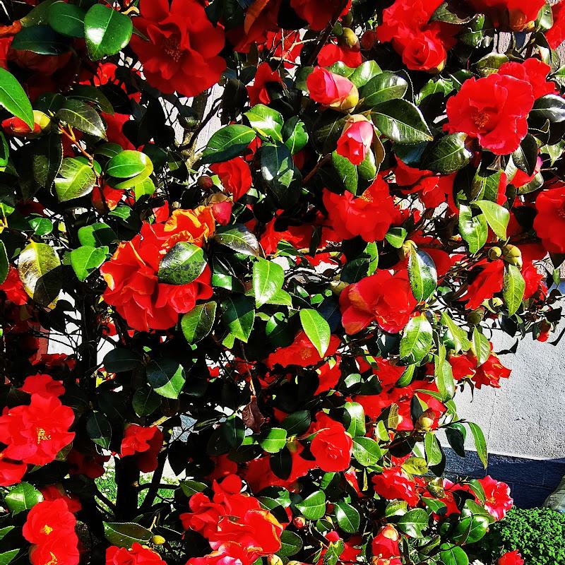 Rose in fiore  di Francis98