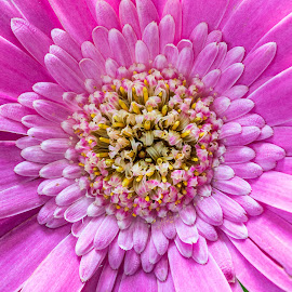 Centre of a Gerbera Gavinea. by Simon Page - Nature Up Close Other plants