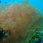 Knotted fan coral