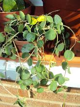 Photo: Hoya serpens