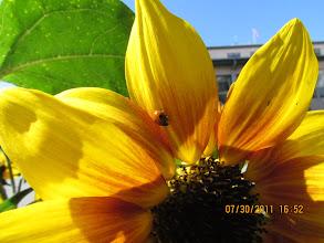 Photo: sunflower & ladybug, pike place market 073011