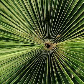 Palm leaves by Anup Kumar Adhikari - Nature Up Close Leaves & Grasses (  )