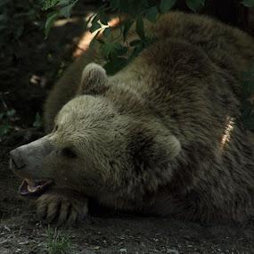 Bern Bear by Tonia Hernandez - Animals Other Mammals ( bear sleeping napping bern switzerland )