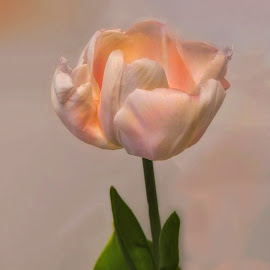 Pale Pink Tulip by Patricia Phillips - Flowers Single Flower ( flowers tulips spring pink )