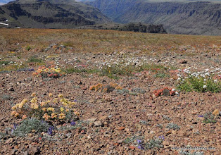 Photo: Alpine wildflowers of Steens Mountain