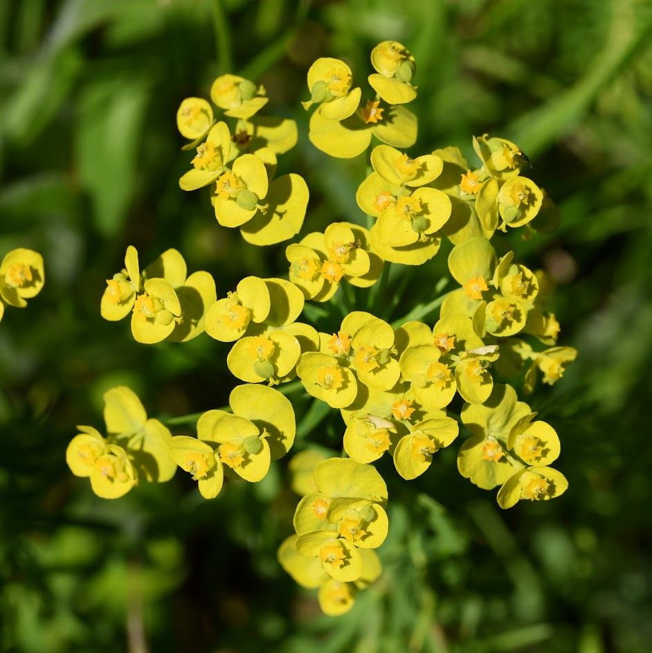 bloeiwijze